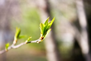 spring-buds-1-of-14